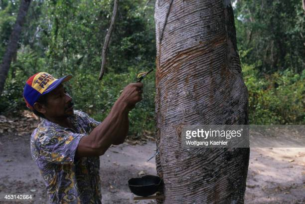 Brazil Amazon River Near Alter Do Chao Cabocolo Man Tapping Rubber Tree For Latex