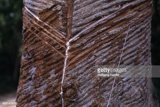 Brazil Amazon River Near Alter Do Chao Rubber Tree Farm Latex Dripping From Tree