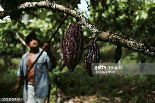 Brazil, Bahia, cocoa pods on tree, man in background (focus on pods)