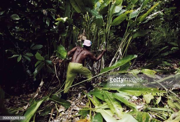 Brazil, Bahia, man cutting back foliage on cocoa plantation