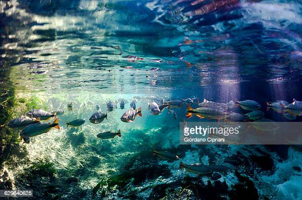 brazil, bonito, school of fish in sucuri river - mato grosso do sul state stock pictures, royalty-free photos & images