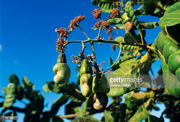 Brazil, Ceara, Cashew fruits on tree, close-up