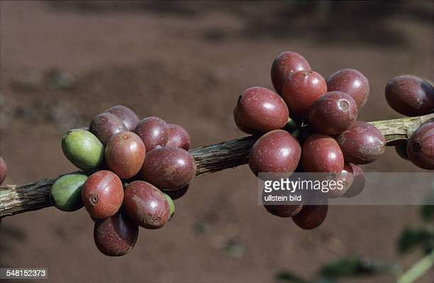 Brazil Coffee beans on the plant no date caption approximately 1990s