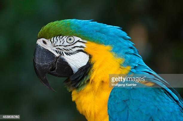 Brazil Iguassu Blueandyellow Macaw Ara ararauna Portrait