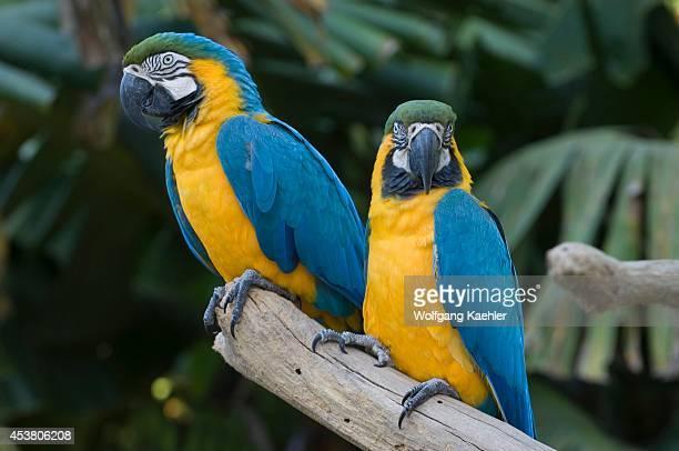 Brazil Iguassu Blueandyellow Macaws Ara ararauna