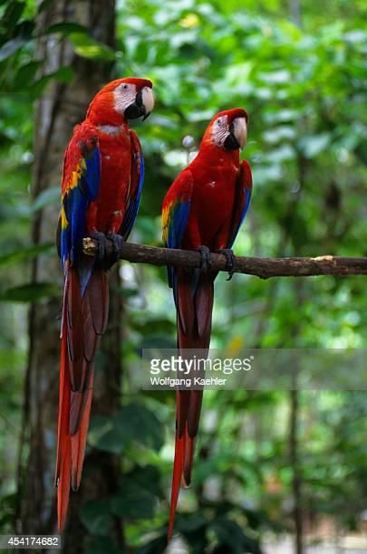 Brazil Manaus Scarlet Macaws