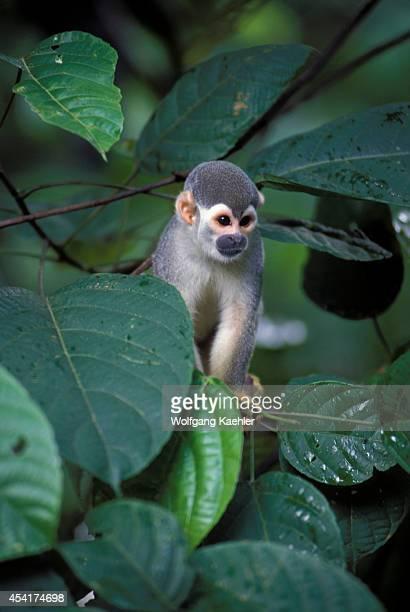 Brazil Manaus Squirrel Monkey