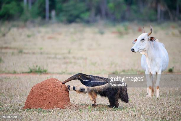 Brazil, Mato Grosso, Mato Grosso do Sul, Pantanal, giant anteater and termite hill
