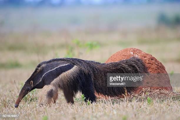 Brazil, Mato Grosso, Mato Grosso do Sul, Pantanal, giant anteater and termite hill