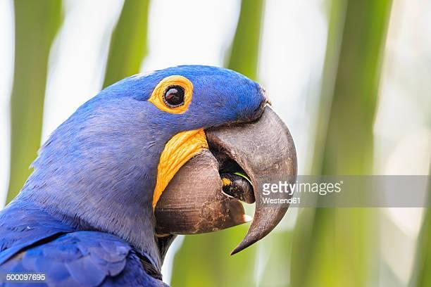 Brazil, Mato Grosso, Mato Grosso do Sul, Pantanal, hyazinth macaw, Anodorhynchus hyacinthinus