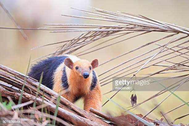 brazil, mato grosso, mato grosso do sul, pantanal, southern tamandua - tamandua anteater stock pictures, royalty-free photos & images