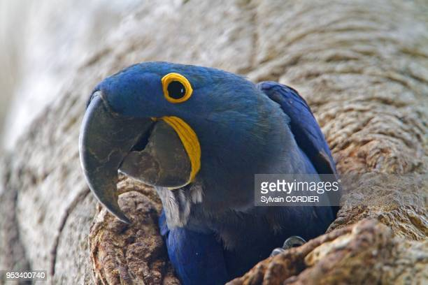Brazil Mato Grosso Pantanal area Hyacinth Macaw adult in the nest hole in a tree
