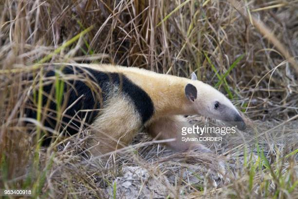 Brazil, Mato Grosso, Pantanal area, Southern Tamandua or Collared Anteater or Lesser Anteater .