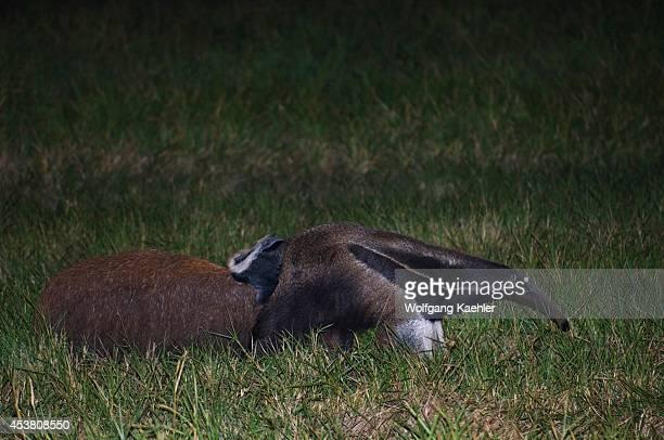 Brazil, Mato Grosso, Pantanal, Refugio Ecologico Caiman, Giant Anteater, Myrmecophaga tridactyla, With Baby On Back.