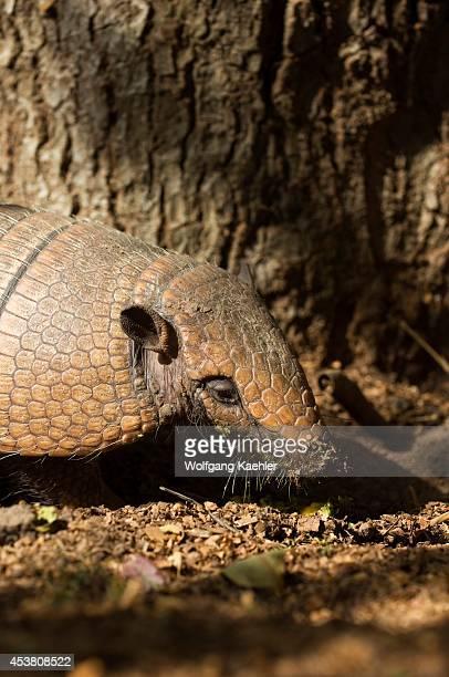 Brazil, Mato Grosso, Pantanal, Refugio Ecologico Caiman, Nine-banded Armadillo, Dasypus novemcinctus, Feeding On Fruit, Close-up.