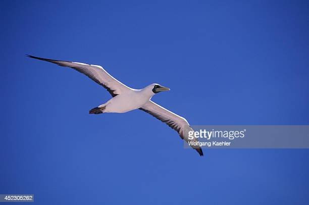 Brazil Near Natal Masked Booby In Flight