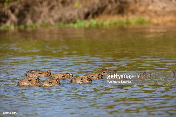 Brazil Northern Pantanal Family Of Capybaras Swimming In River