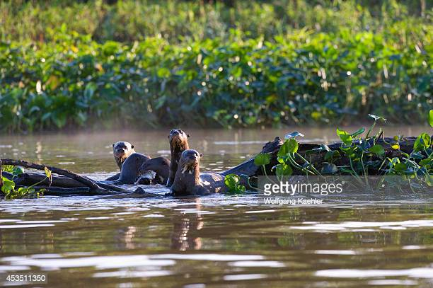 Brazil Northern Pantanal Group Of Giant River Otters Feeding On Fish
