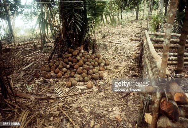 Brazil Nut harvest Brazil Bertholletia excelsa