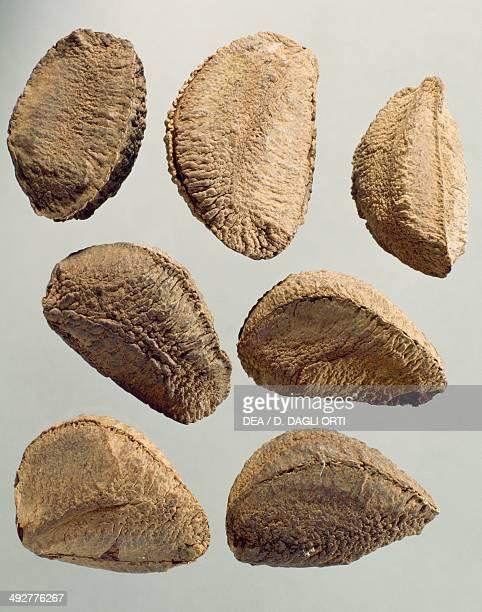 Brazil Nut Lecythidaceae