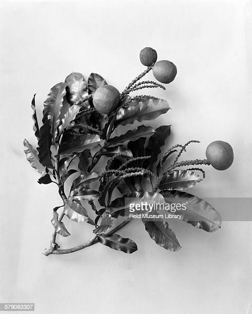 Brazil Nut plant model Bertholletia excelsa Lecythidaceae
