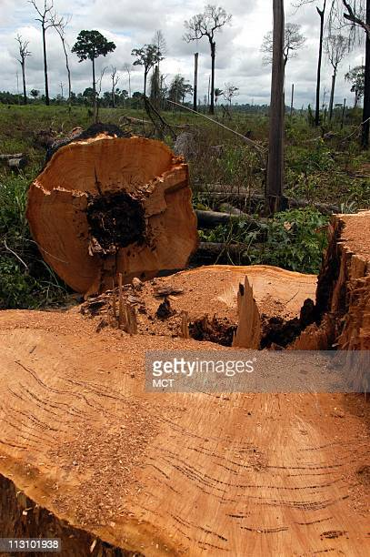 A Brazil nut tree a protected species was felled on the Macauba Ranch to make way for cattle ranching Brazil's antislavery team raided the ranch and...