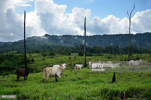 brazil, para, amazon rainforest, itaituba, slash and burn, cleared, cows on pastureland - cattle stock pictures, royalty-free photos & images