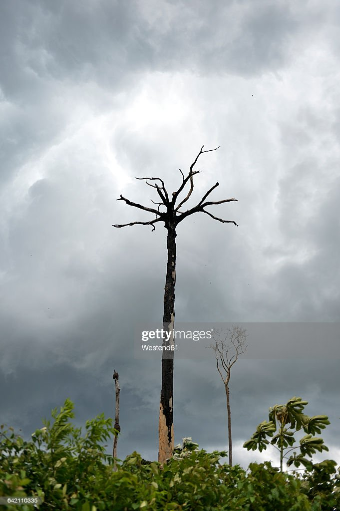 Brazil, Para, Amazon rainforest, slash and burn, dead brazil nut tree : Stock Photo