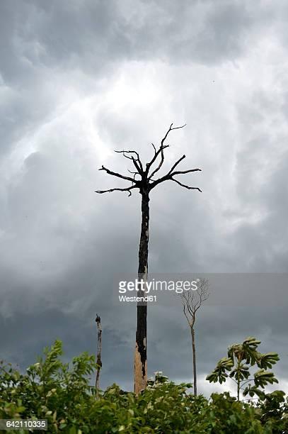 brazil, para, amazon rainforest, slash and burn, dead brazil nut tree - brazil nut - fotografias e filmes do acervo