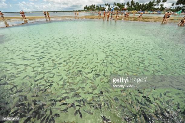 Brazil Pernambuco Porto de Galinhas huge amount of fishes in transparent natural pools