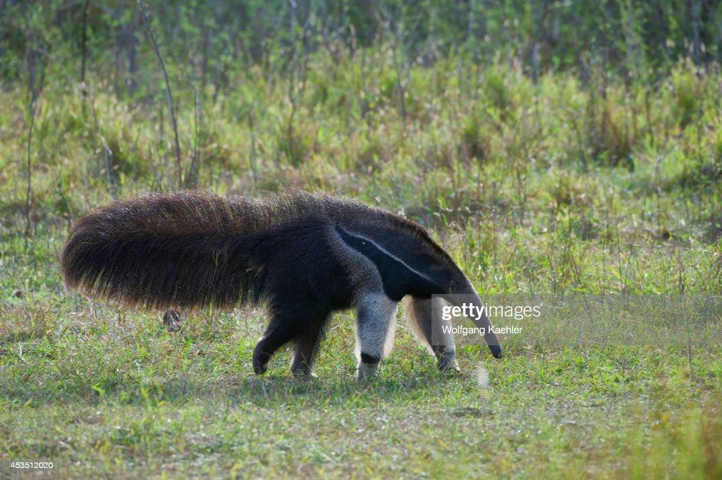 Brazil, Southern Pantanal, Caiman Ranch, Giant Anteater (... : News Photo