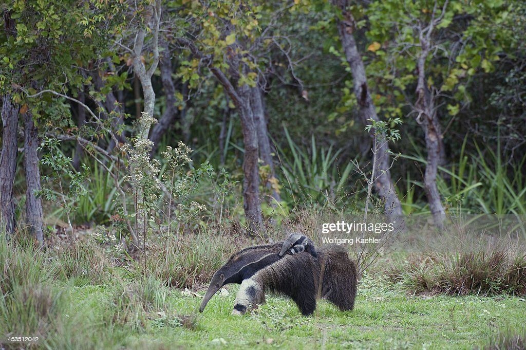 Brazil, Southern Pantanal, Caiman Ranch, Giant Anteater (... : News Photo