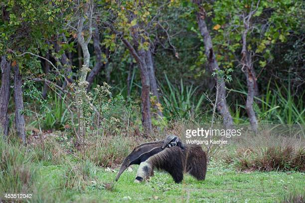 Brazil, Southern Pantanal, Caiman Ranch, Giant Anteater , Endangered Species, Mother Carrying Baby On Back.