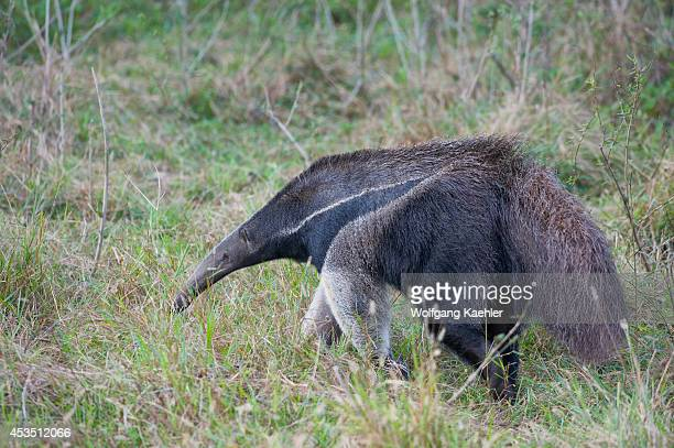 Brazil, Southern Pantanal, Caiman Ranch, Giant Anteater , Endangered Species.