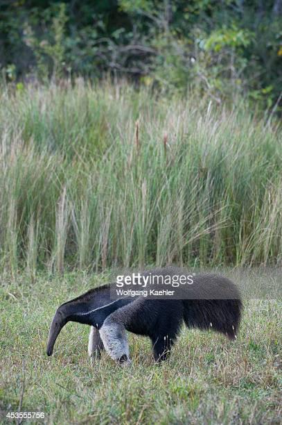 Brazil, Southern Pantanal, Caiman Ranch, Giant Anteater , Endangered Species.
