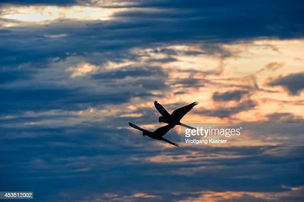 Brazil Southern Pantanal Caiman Ranch Hyacinth Macaws In Flight Evening Sky In Background
