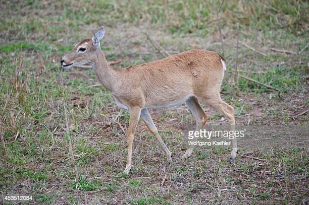 Brazil Southern Pantanal Caiman Ranch Pampas Deer
