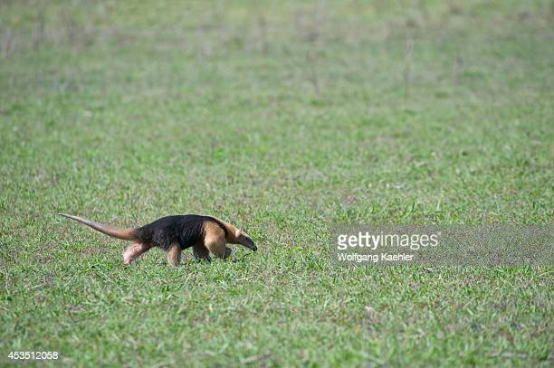 Brazil, Southern Pantanal, Caiman Ranch, Southern Tamandua , Lesser Or Collared Anteater.