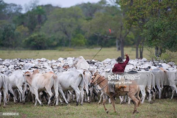 Brazil, Southern Pantanal, Pantaneiro Cowboys Rounding Up Cattle.