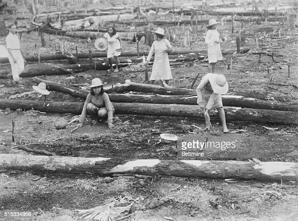 Workmen planting rubber trees on the Ford plantation