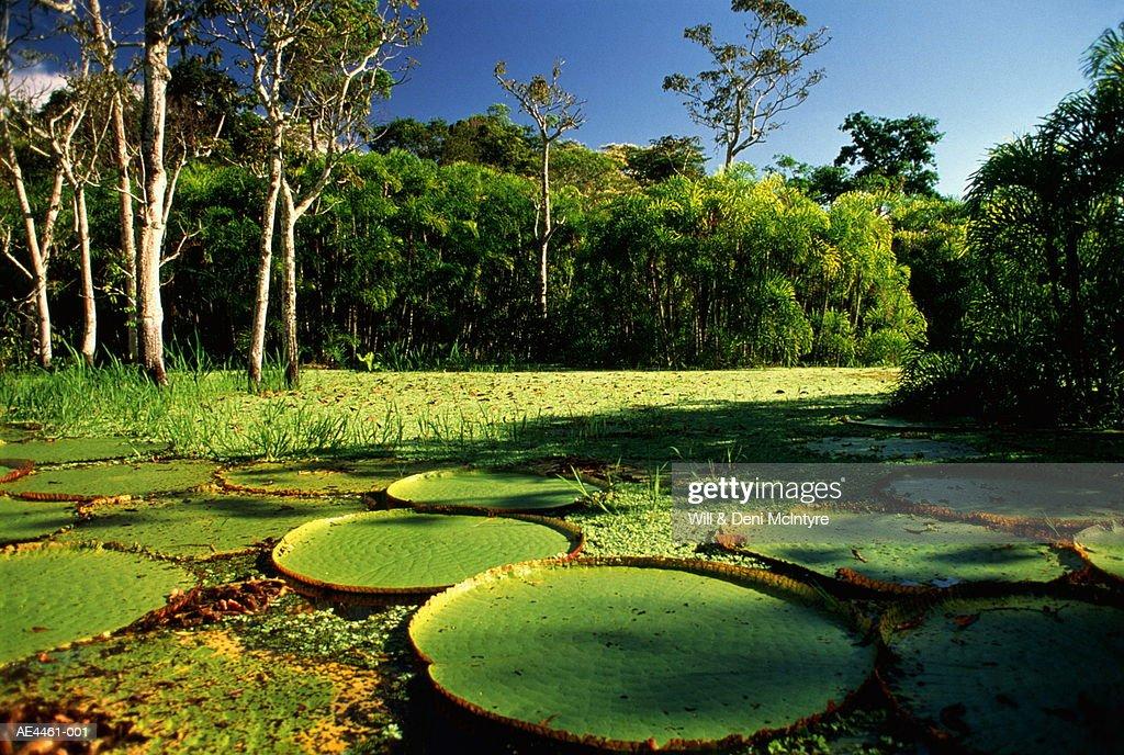 Brazil,Amazon,Giant Victoria Regia Lilypads : Stock Photo