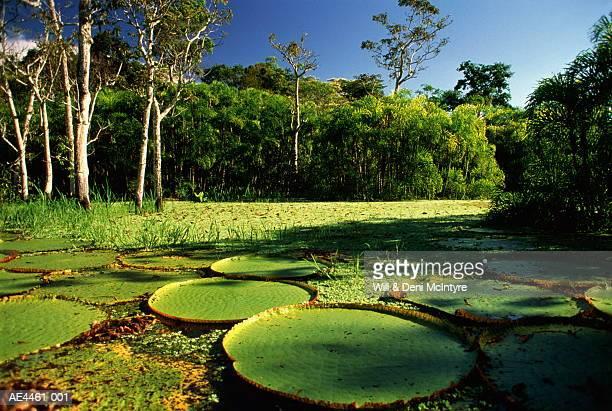 brazil,amazon,giant victoria regia lilypads - río amazonas fotografías e imágenes de stock