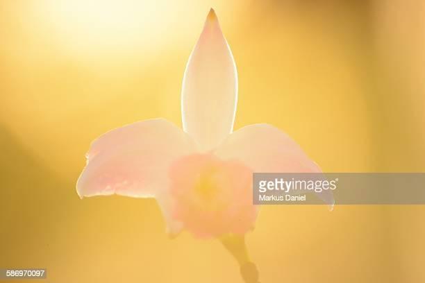 Brazilian bamboo orchid in summer sun