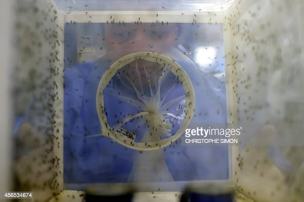 Brazilian biologist and Entomology Team Leader at the Oswaldo Cruz foundation Rafael Freitas handles boxes wit Aedes aegypti mosquitoes infected with...