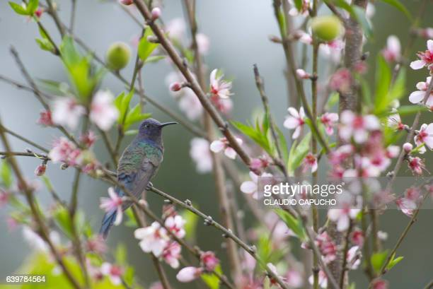 a brazilian blue headed hummingbird in a peach tree - claudio capucho stock pictures, royalty-free photos & images