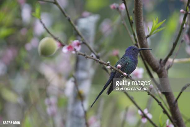a brazilian blue headed hummingbird in a peach tree - claudio capucho stock photos and pictures