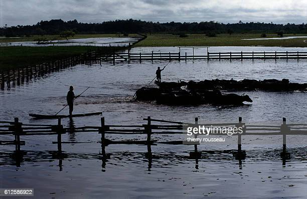 Brazilian cowboys herd cattle aboard pirogues on the Jari River