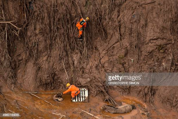 Brazilian firemen rescue a foal which remains next to its mother after a dam burst in the village of Bento Rodrigues in Mariana Minas Gerais state...