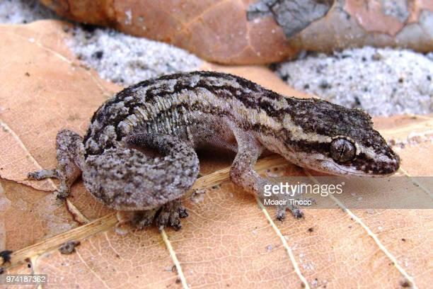brazilian gecko - squamata stock photos and pictures