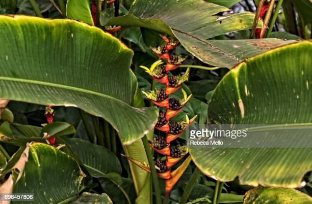 Brazilian heliconia